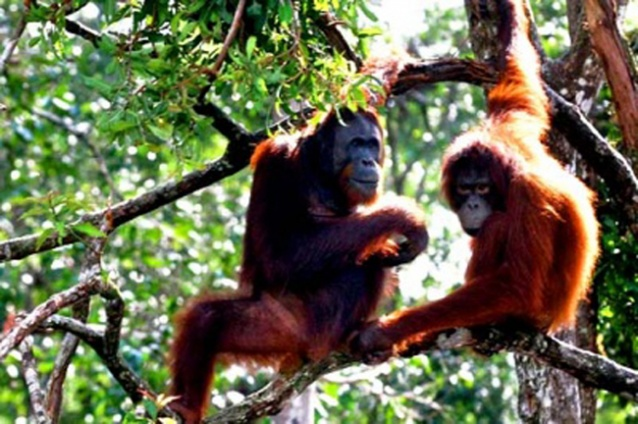 "Orangutans relax in a tree in Central Kalimantan. Ecotourism is set to be developed in the province along with Aceh and Papua, following a new partnership between Indonesia and the US. Under a five-year initiative called ""Lestari"" (Everlasting), the partnership aims to achieve a balance between economic development and green growth. (JP/J. Adiguna)"